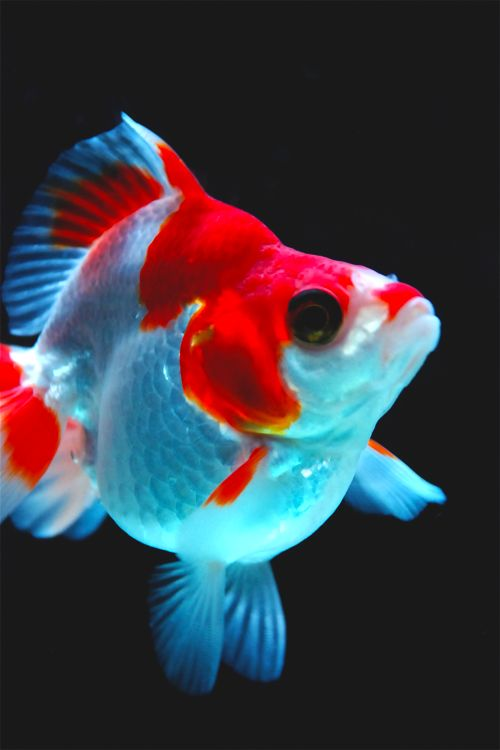 Beautiful goldfish