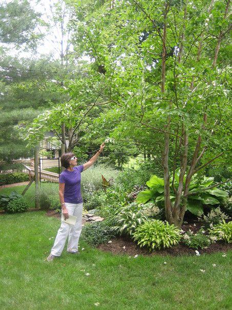 Stewartia trees and shrubs nyc pinterest