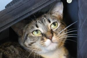 Tabby bengal mix has sweet golden eyes and an endearing personality
