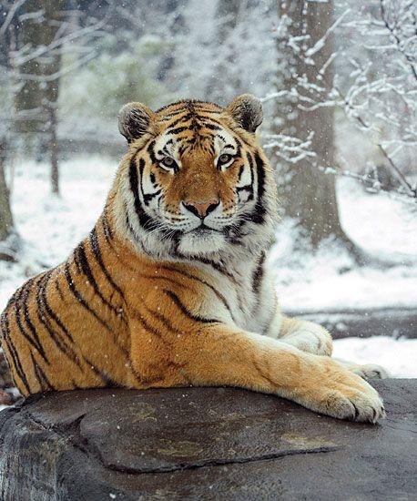 tiger russia