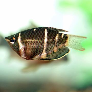 Chocolate Gourami Tropical Fish Pinterest