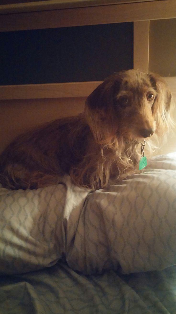 Dachshund Puppies For Sale In Upper Michigan Ideas