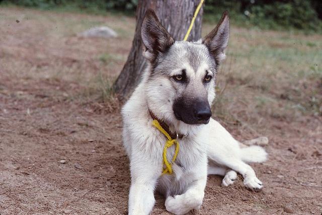 German Shepherd/ Wolf mix | German Shepard | Pinterest