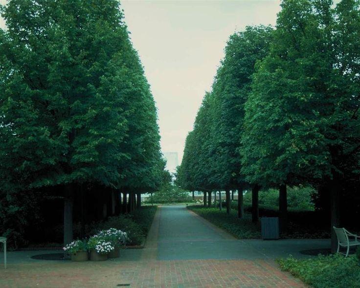 greenspire littleleaf linden tilia cordata pinterest