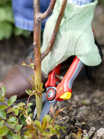 Pruning roses right. Definitely need help with my overgrown rose bush -- I've been too afraid to prune it.