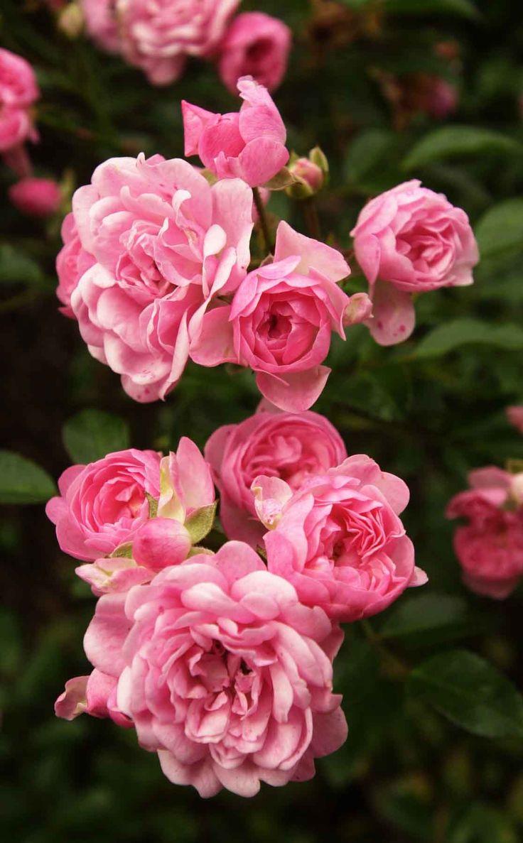 wild roses lovely flowers pinterest. Black Bedroom Furniture Sets. Home Design Ideas