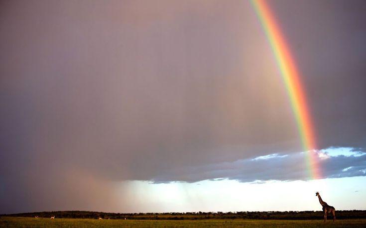 goldstein girraffe at the end of a rainbow in the maasai mara kenya
