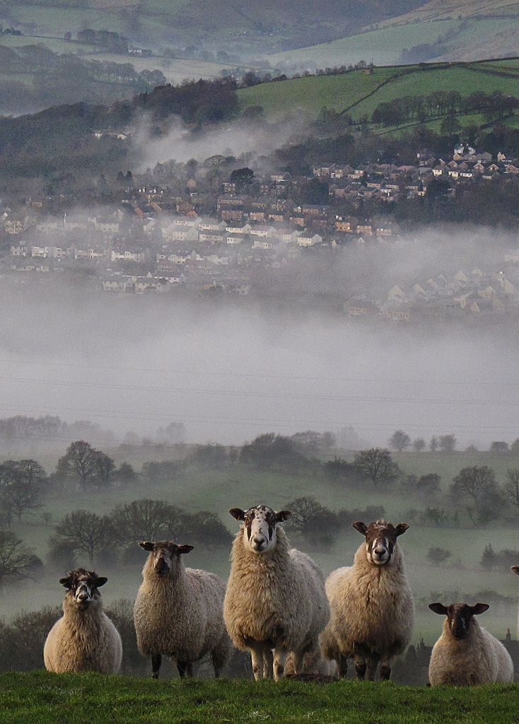 fog, sheep, country