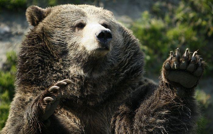 """Grizzly Bear in Yellowstone - """"Palma, palma, não priêmos cânico!"""""""