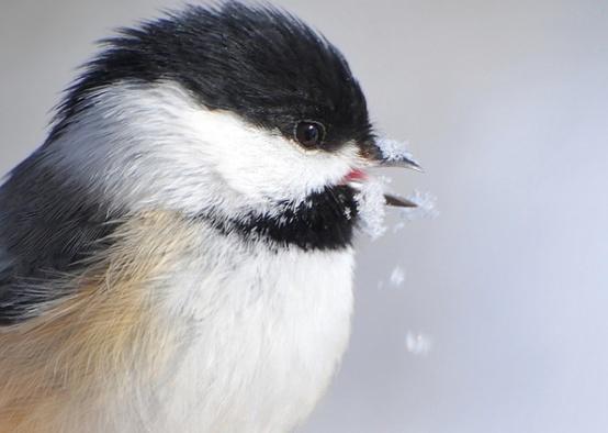 my favorite birdie-chickadees!