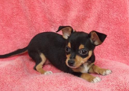 Chihuahua/ Min Pin Cross | Pets | Pinterest