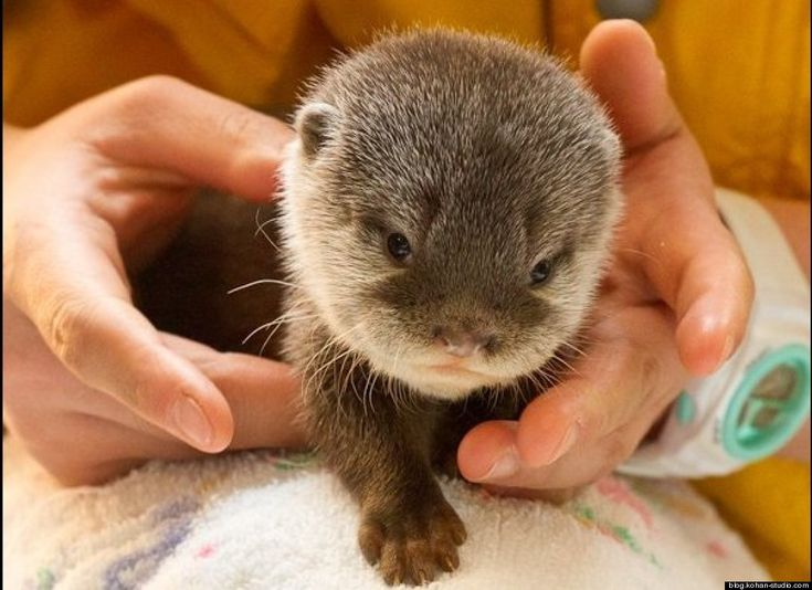 photos painfully cute baby otters