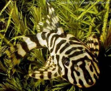 Leopard Frog Pleco - Freshwater Fish Species Profiles Kaskus - The ...
