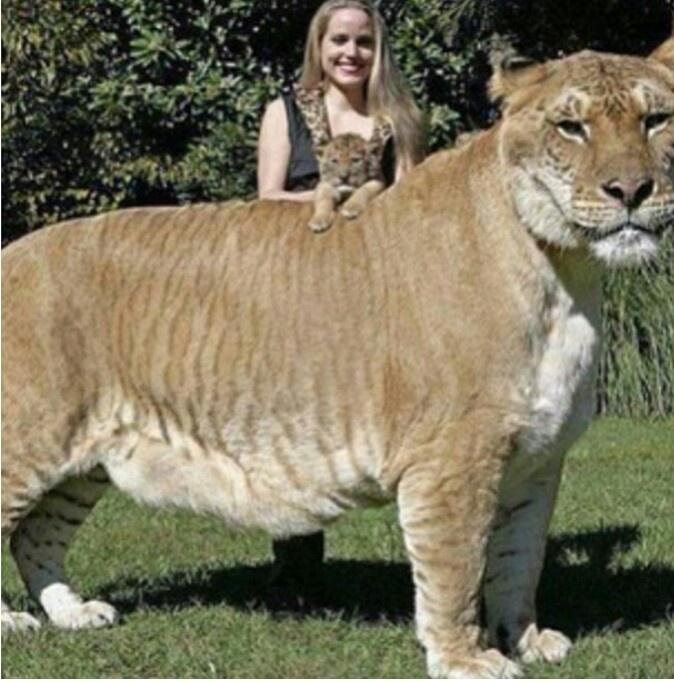 Biggest Hous Cat In The Worls