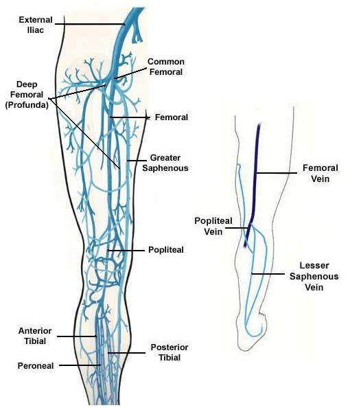 Lower Extremity Veins | Nursey! | Pinterest