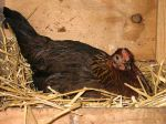 Excellent info on 'letting mama do it' when you have a broody hen hatching chicks for you.
