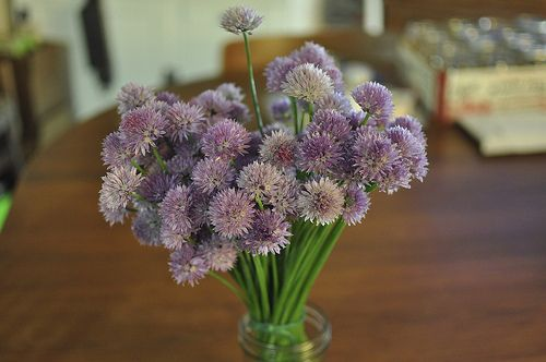 Chive blossom vinegar, for all the chive flowers about to pop open in ...