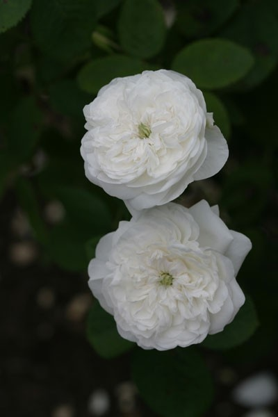 white fragrant roses madame hardy blooms blooming. Black Bedroom Furniture Sets. Home Design Ideas