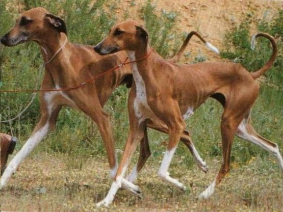 Rare breeds for dogs | Pets, Animals, Beautiful and Rare animals, Wei ...