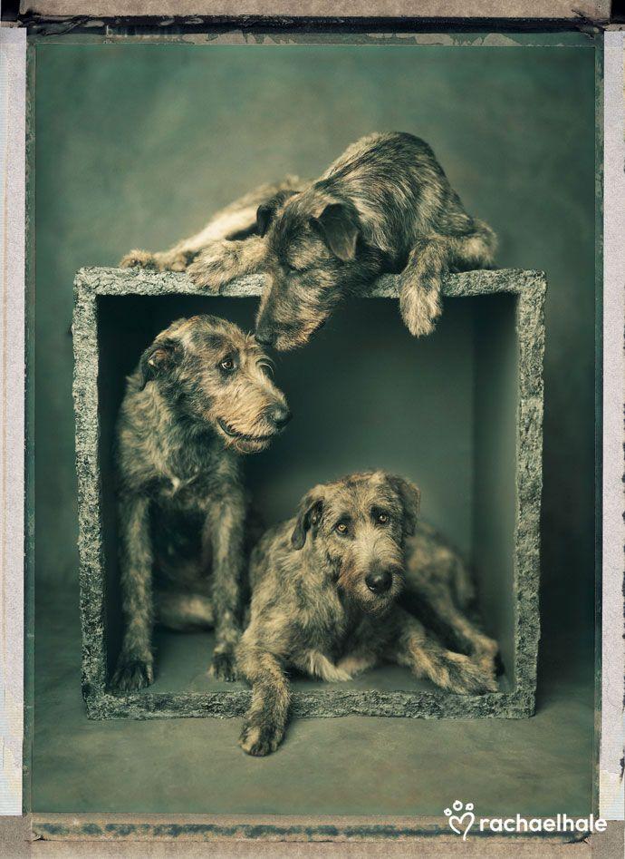 L'Irish Wolfhound 498a6daf6b711d53326121666f7479d7