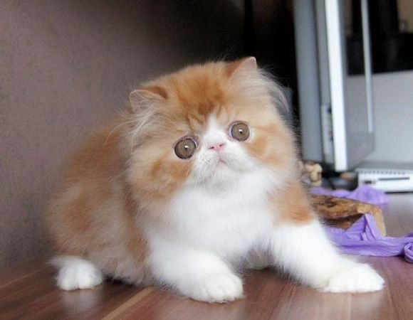 pure Persian female and male kitten   Animals   Pinterest
