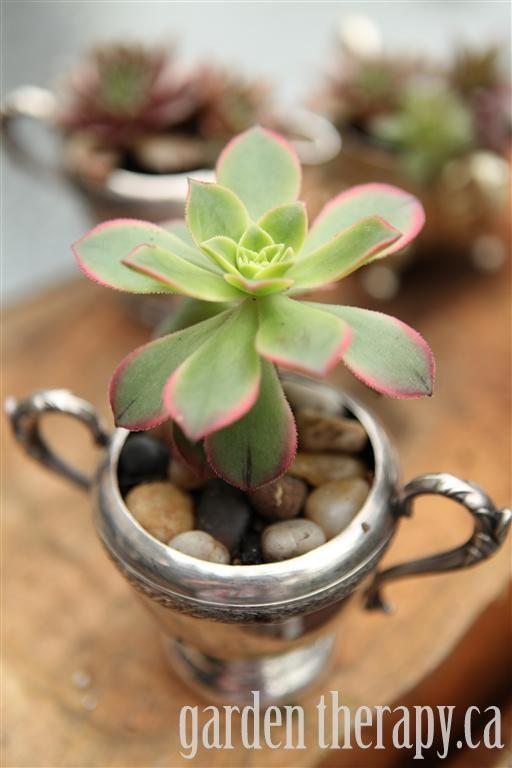 Kiwi Aeonium in silver sugar bowl