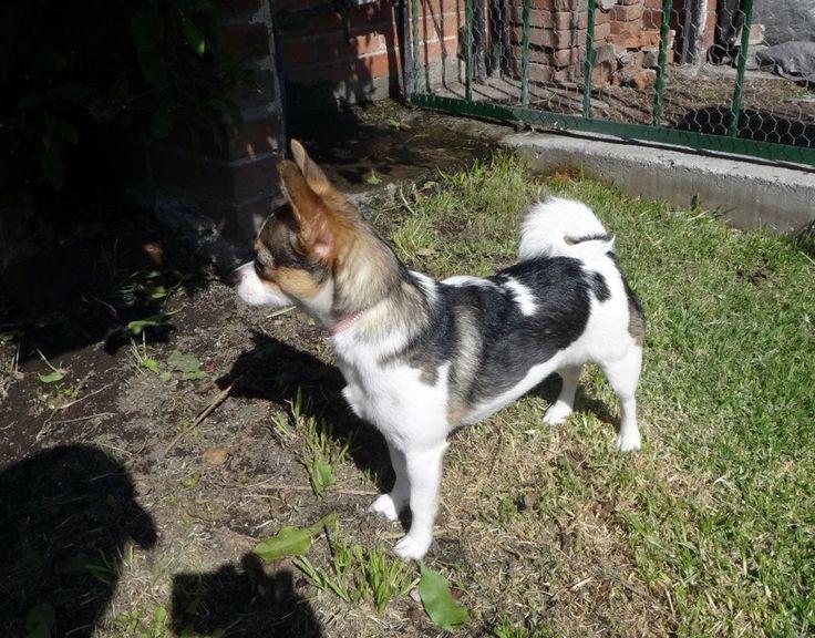 Mini akita | Chihuahua consentida | Pinterest