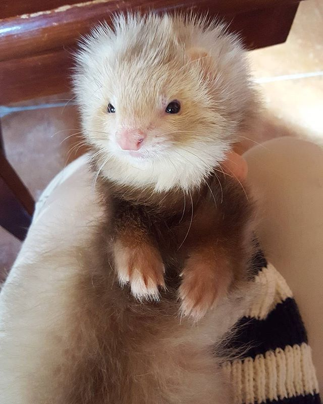 How to Reduce Ferret Odor photo