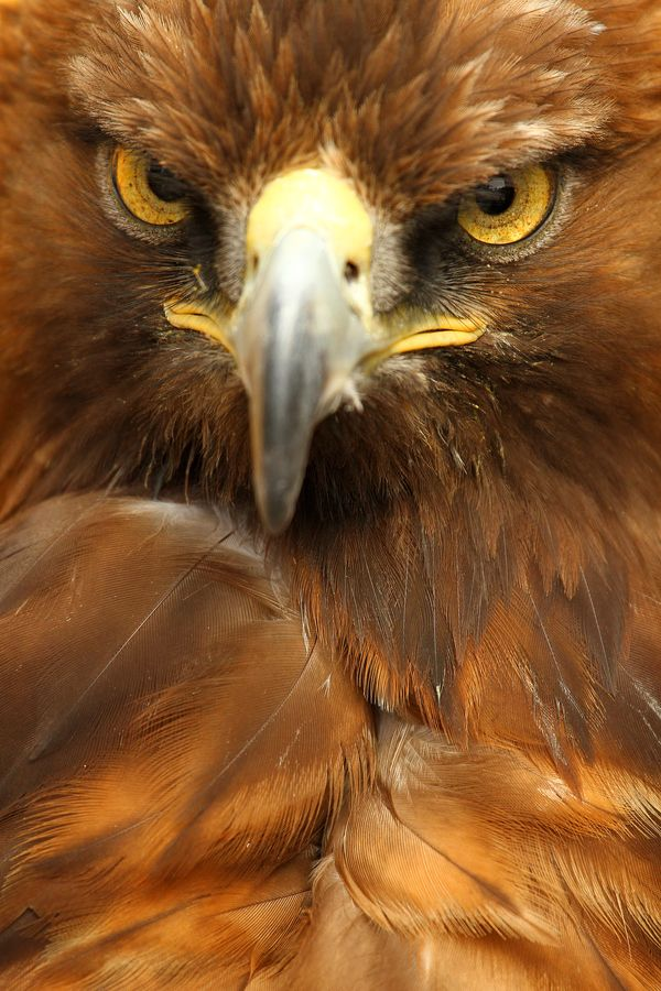 Golden Eagle by Alan Hinchliffe (bit of a grumpy chops eagle)