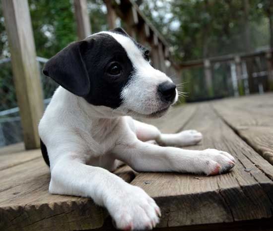 jack russell terrier black and white - photo #28