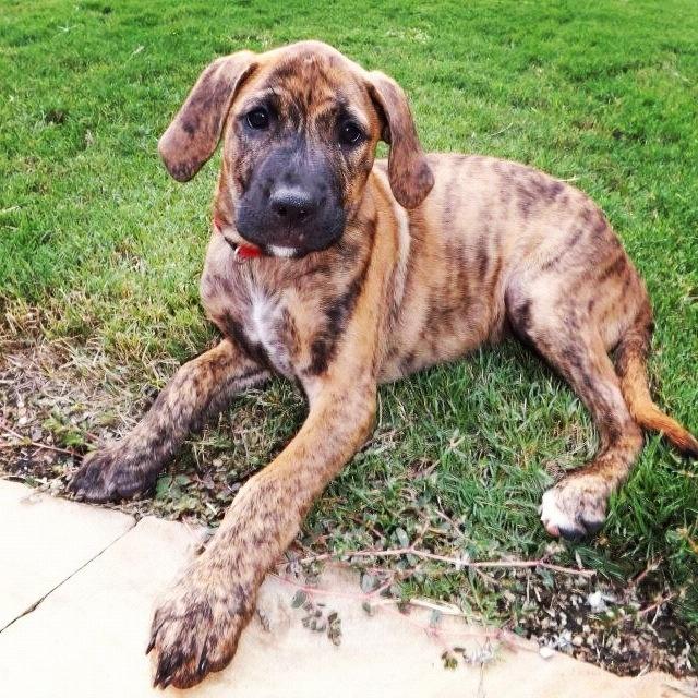 cute plott hound dog - photo #22