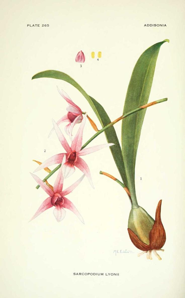 sarcopodium lyonii (orchidee)