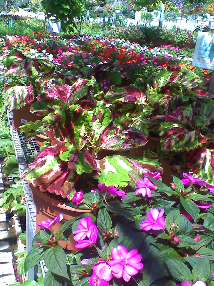 Shade Loving Annuals For The Home Pinterest