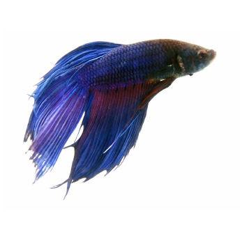 Purple betta aquariums fish plants pinterest for Purple betta fish