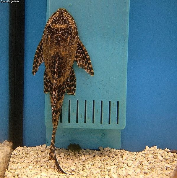 Suckermouth catfish. From or under the sea, and creatures for Max ...