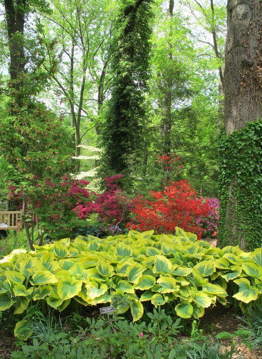 Azaleas Blooming Behind Hostas At Brookside Gardens In May