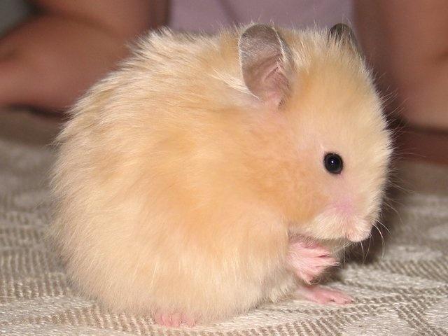cute little hamsters photos - photo #23