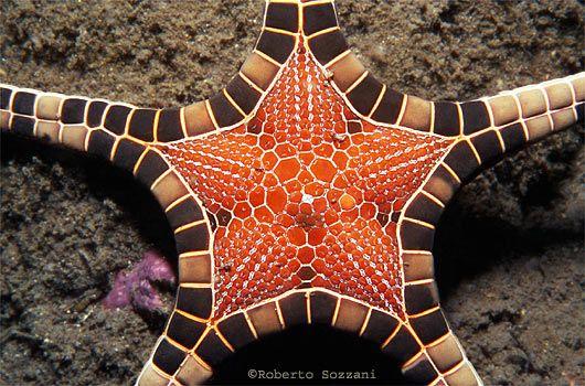 Alor - Indonesia, Stella marina, Sea Star, Starfish, Iconaster longimanus