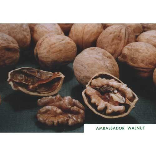 Ambassador Walnut Tree (Standard) at www.GrowOrganic.com