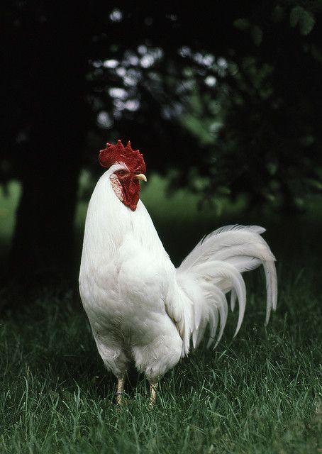 White Leghorn Rooster | Chickens | Pinterest