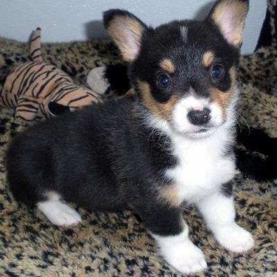 Corgi Husky Mix For Sale | Pembroke Welsh Corgi Puppies For ... | Dogs