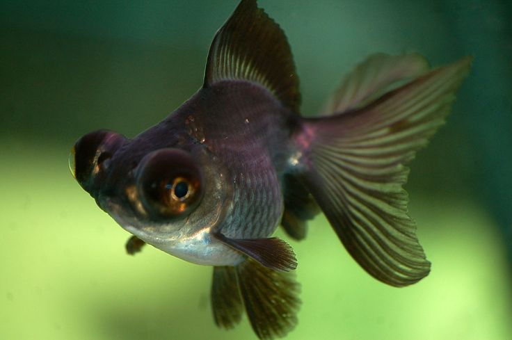 Baby Black Moor Goldfish Black Moor Goldfish. |...