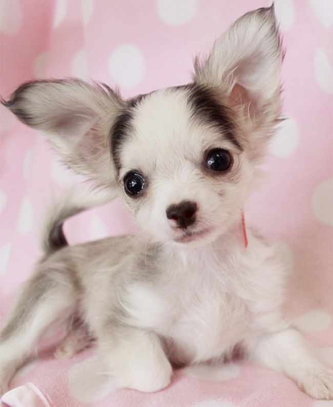 long haired chihuahua long haired chihuahua long haired chihuahua ...