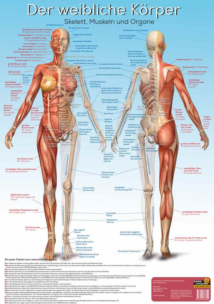 Berühmt Diagramm Der Muskeln In Dem Menschlichen Körper Bilder ...