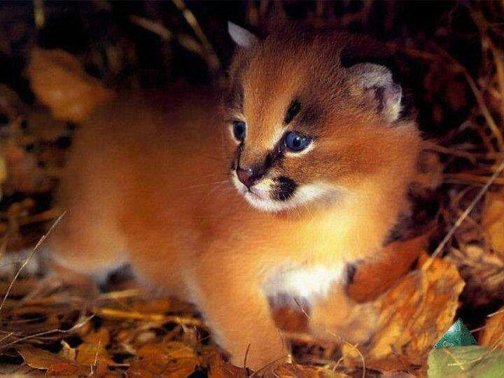 Baby caracal. ♥ | Wild Cats | Pinterest