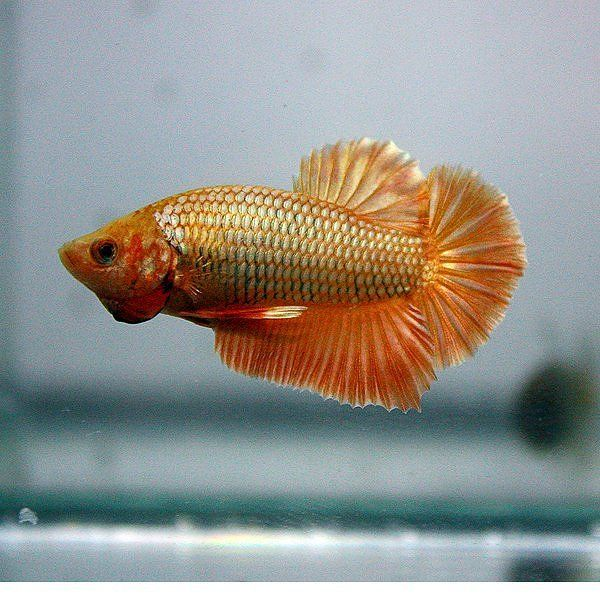 Halfmoon plakat betta Feesh and Friends Pinterest