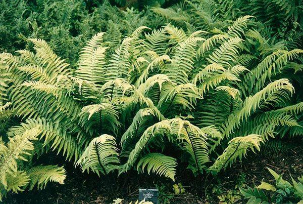 Buckler fern (Dryopteris cycadina)