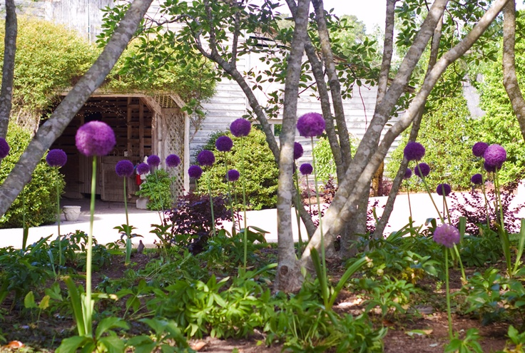 #Purple #onion #flowers make a brief appearance in #Fearrington's #gardens every #spring - something to look forward to!