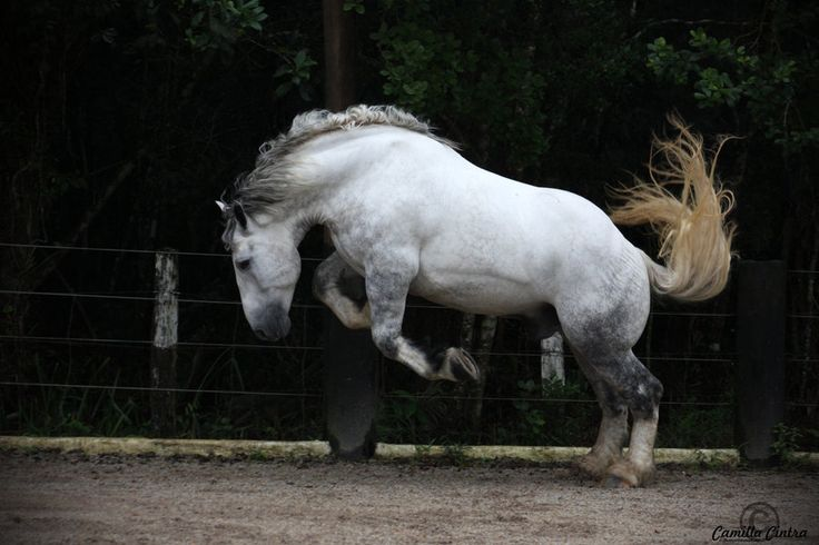 Grey Percheron