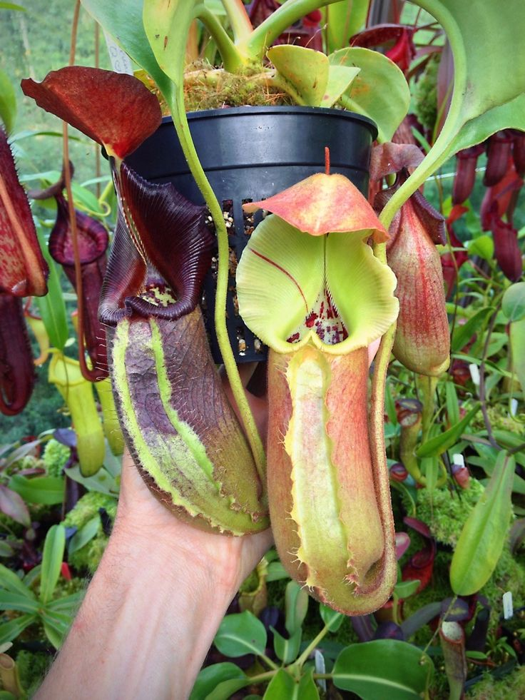 Carnivorous pitcher plant - WANTCarnivorous Pitcher Plants
